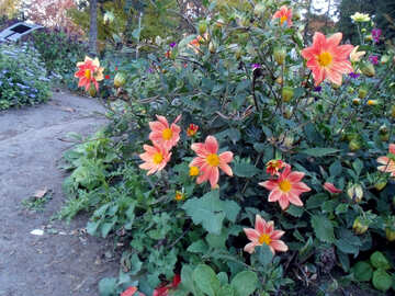 Autumn flowering bush №12976