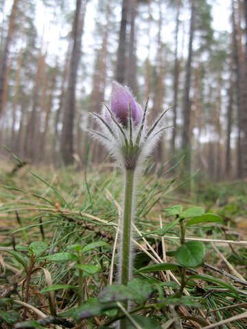 Pasque-flower №12630