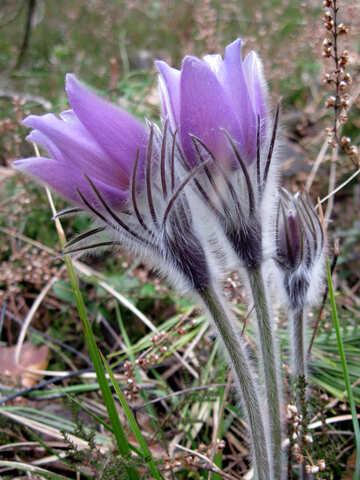 Pasque-flower №12647