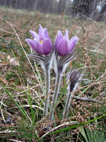 Spring Flower №12625