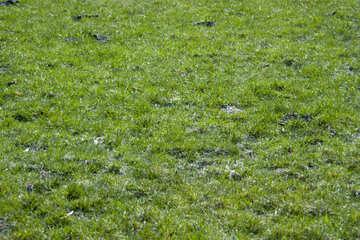 Lawn grass №12794
