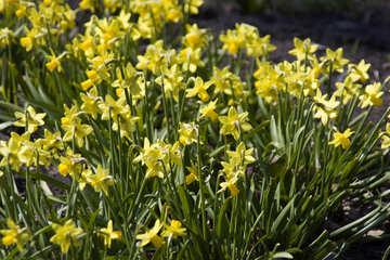 Narcissus №12865