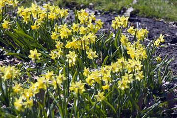 Lent lily №12757