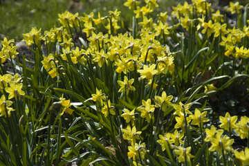 Lent lily №12817