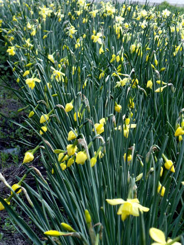 Narcissuses №12910