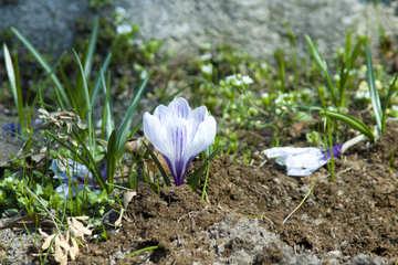 Первый цветок №12811