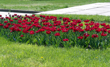 A flower bed of red tulips №12930