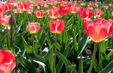Sea of tulips №12928