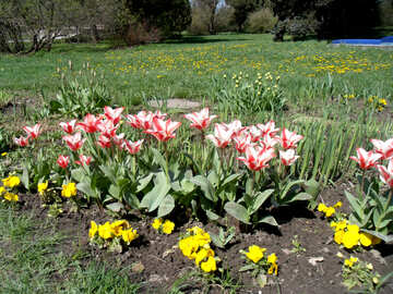 A flower bed of tulips №12929
