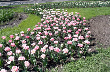 Tulips in flowerbed №12921