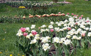Muster der Tulpen №12908