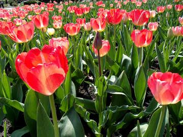 Many tulips №12943