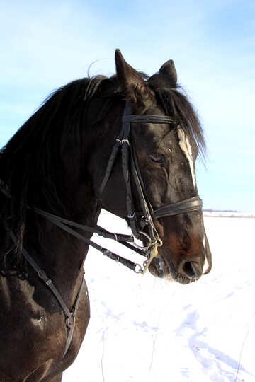 Pferd im winter №12229