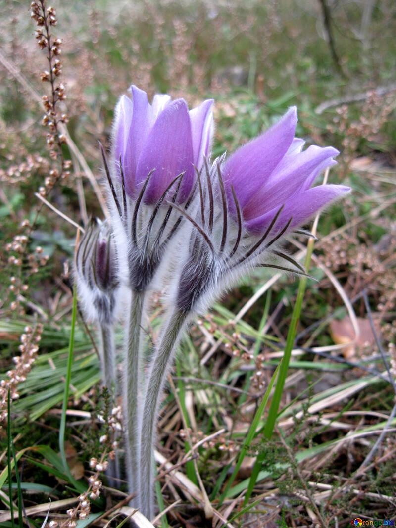 Sleep-flower grass №12657