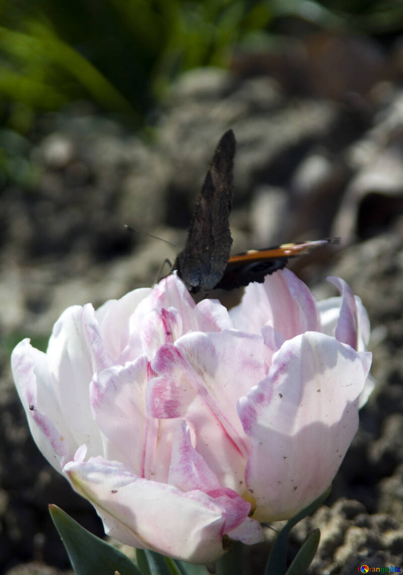 Butterfly on tulip №12793