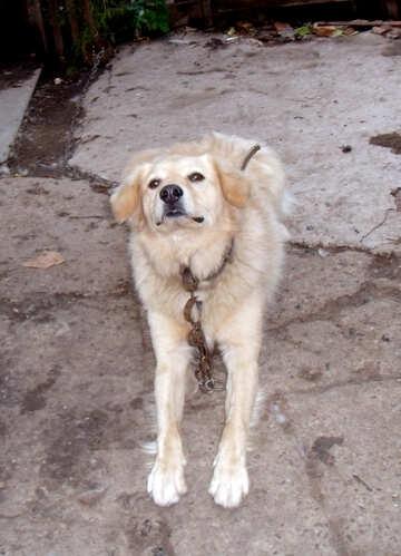 Vicious dog chain №13993