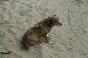 Mongrel on the sand №13955