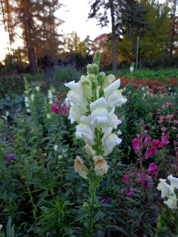 Snapdragon flower №13912