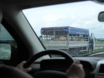 Transportation of pigs №13244