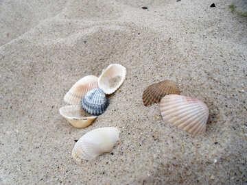 Seashells №13500