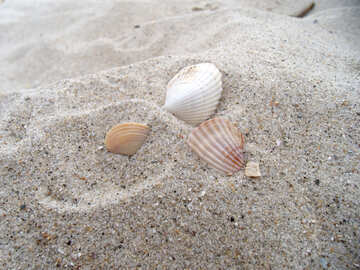 Seashells №13565