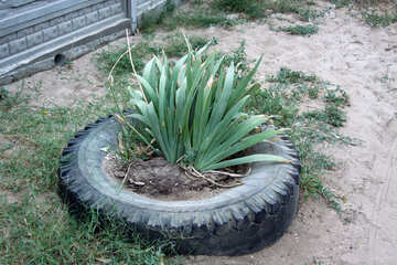 A flower in bed of tires №13686