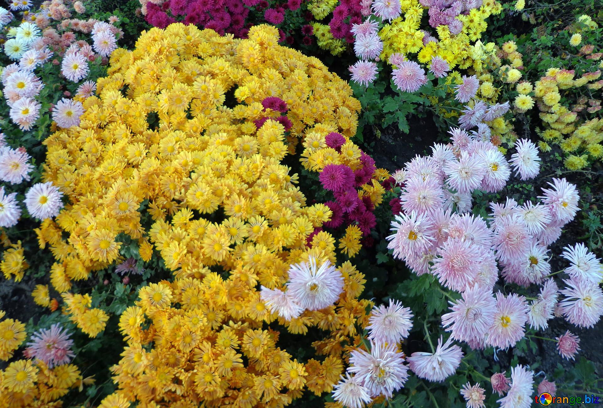 кусты хризантем картинки доктор медицинских