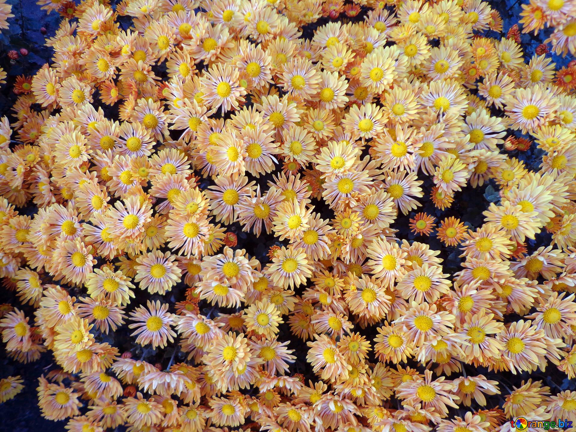 кусты хризантем картинки еще важнее