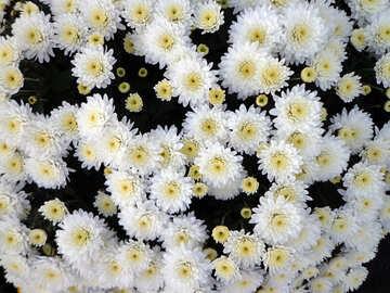 Chrysanthemums №14210