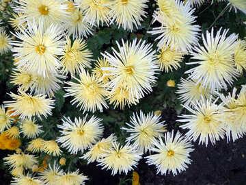 Chrysanthemums №14211