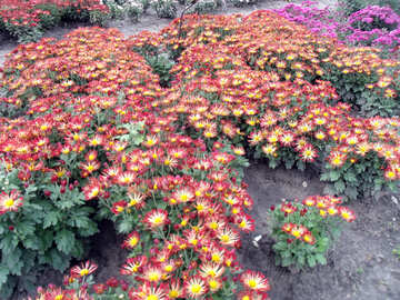 Chrysanthemen in der Landschaft №14331