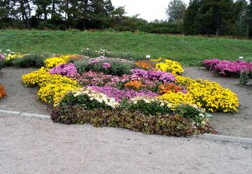 Ein Blumenbett Chrysanthemen №14308