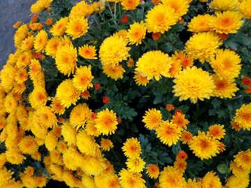 Yellow chrysanthemums №14170