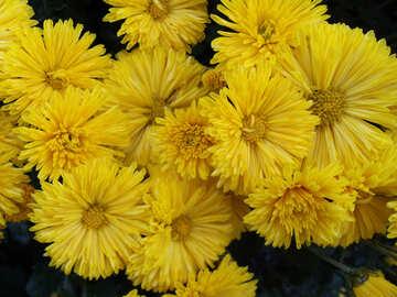 Yellow chrysanthemums №14261