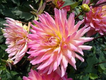 Bright flower dahlia №14281