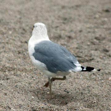 Gray bird №14408