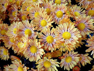 Chrysanthemum №14159