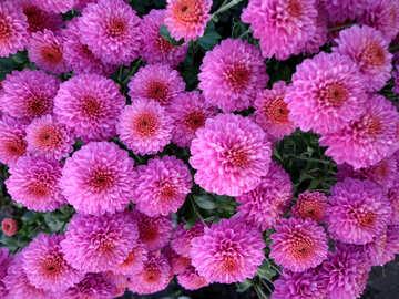 Chrysanthemum №14176