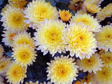 Chrysanthemum №14193