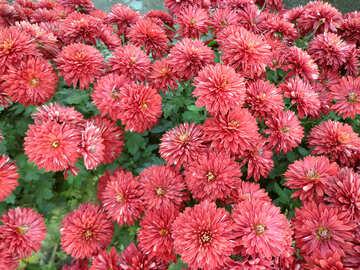 Chrysanthemum background №14202