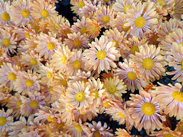 Chrysanthemum background №14213