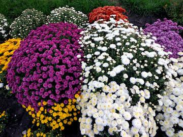 Colorful chrysanthemum №14212