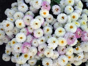 Fluffy chrysanthemum №14182