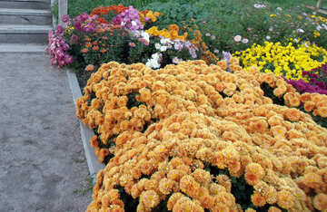 Chrysanthemen in Landschaftsplanung №14201