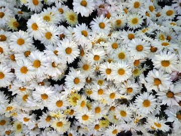Chrysanthemum-like chamomile №14195