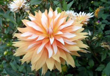 Cream Dahlia №14260