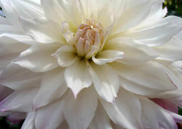 Large white dahlia №14298