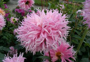Pink Dahlia №14301