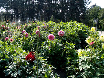 Shrubs Dahlias №14360
