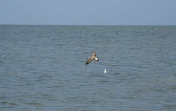 Speckled seagull over wave №14406